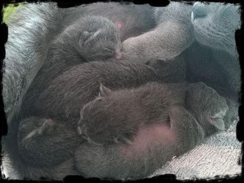 chatons korat élevage d'adélaurïe