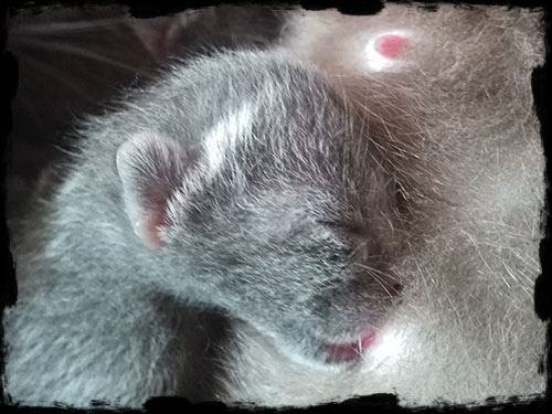 korat chaton à vendre, bébé à la tétine www.adelaurie.com