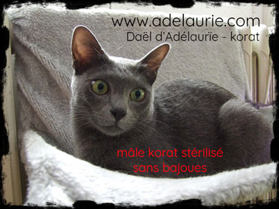 korat neutered