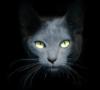 korat à vendre : adulte et chaton, élevage adelaurie