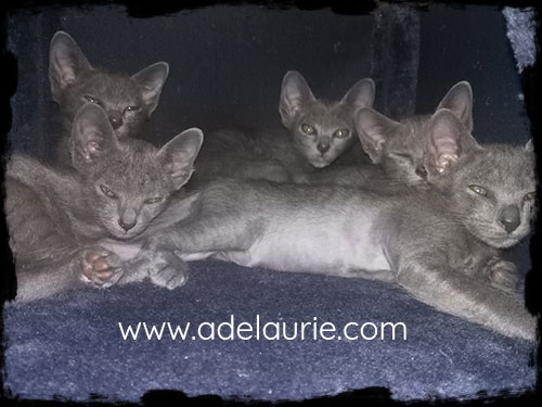 chatons korat dans l'arbre à chat, avant la visite vétérinaire