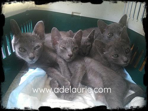 chatons korat au retour de leur visite vétérinaire