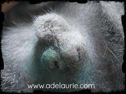 stérilisation et castration précoce chez le chaton korat - élevage d'Adélaurïe