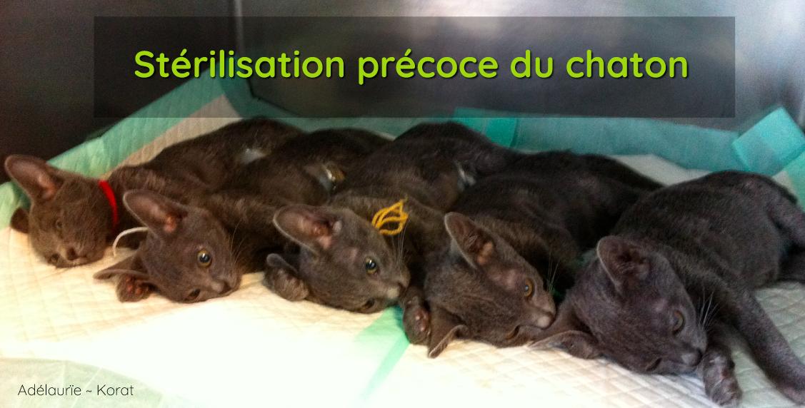 stérilisation précoce du chaton - chatterie de korat