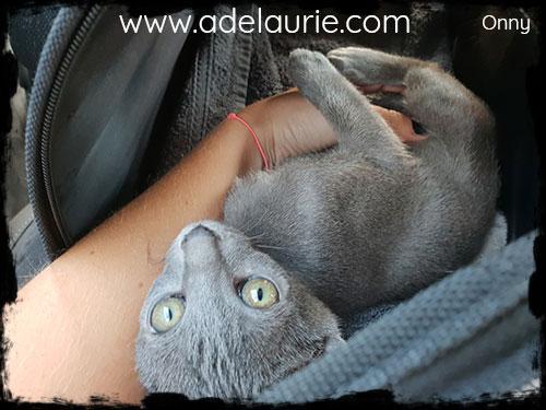 chaton korat d'adelaurie gratouille sur le ventre