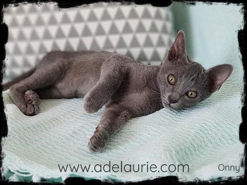 chaton korat d'adelaurie magnifique