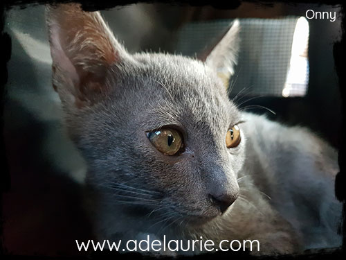 chaton korat d'adelaurie dans le train