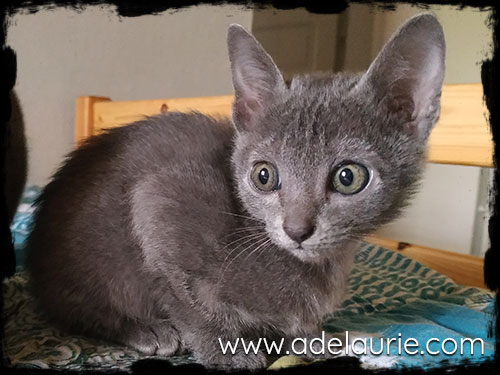 chaton korat male a vendre adelaurie