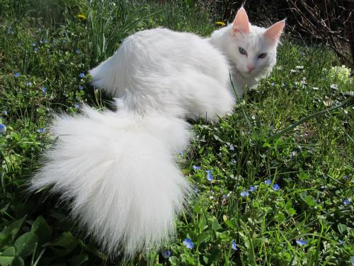 L'angora turc a une fourrure longue et épaisse pour survivre au froid des montagnes de Turquie