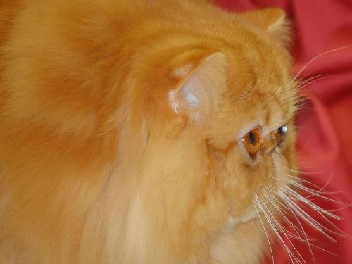 persan roux nez écrasé