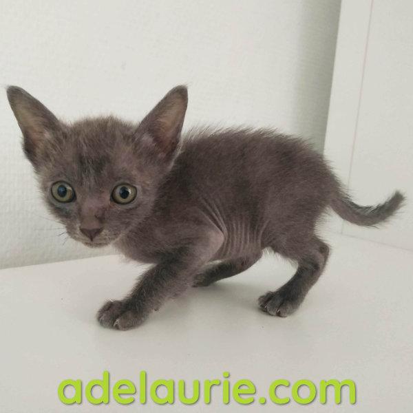 chaton korat femelle