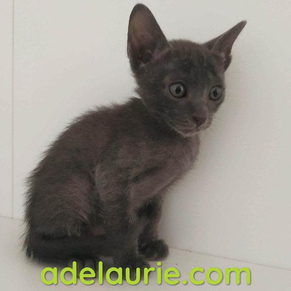 chaton korat mâle