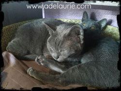 une korat adulte avec un chaton korat
